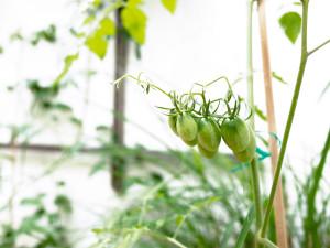 Le patio de Modern City : les tomates